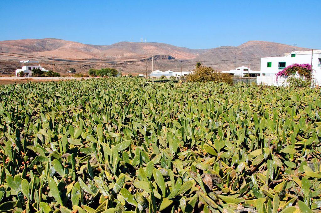cactus field lanzarote
